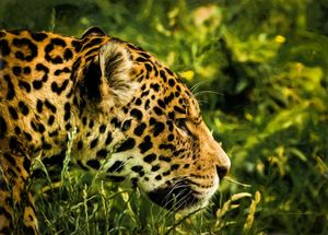 Animals - Jaguar - Consentration - Sipo Liimatainen