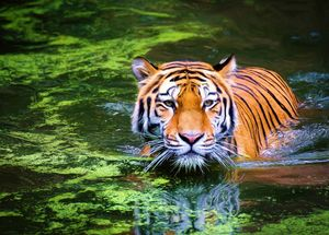 Animals-Tiger-Stripes in the water - Sipo Liimatainen