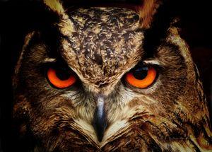 Birds - Owls - Wisdom - Sipo Liimatainen