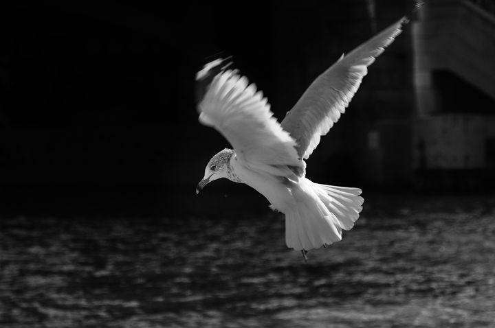 BW bird over Chicago River - David's Gallery