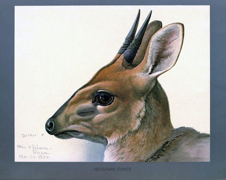 Abyssinian Duiker - SPCHQ