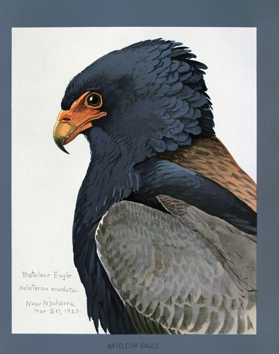 Bateleur Eagle - SPCHQ