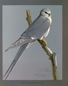 African Swallow Tailed Kite - SPCHQ