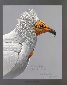 Egyptian Vulture - SPCHQ