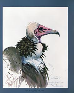White-necked Vulture - SPCHQ