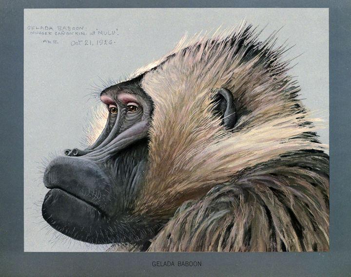 Gelada Baboon - SPCHQ