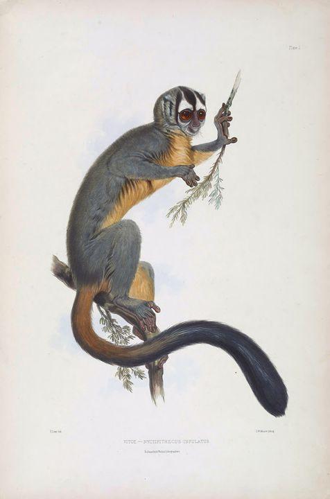 Drawing of a night monkey - SPCHQ