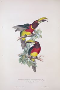 Pteroclossus - SPCHQ