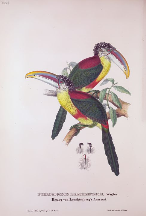 Pteroclossus Bratha - SPCHQ
