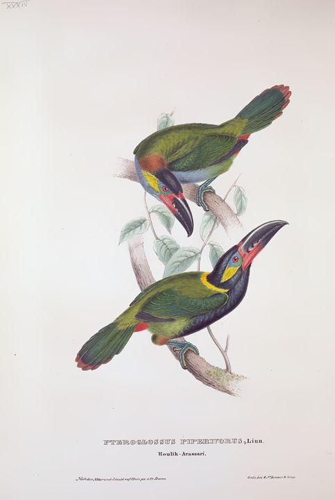 Piperivorus - SPCHQ