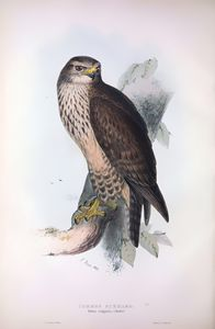 Common Buzzard - SPCHQ