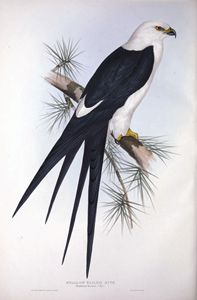 Tailed Kite - SPCHQ