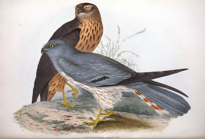 Harrier - SPCHQ