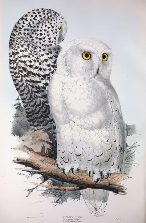 Snowy owl - SPCHQ