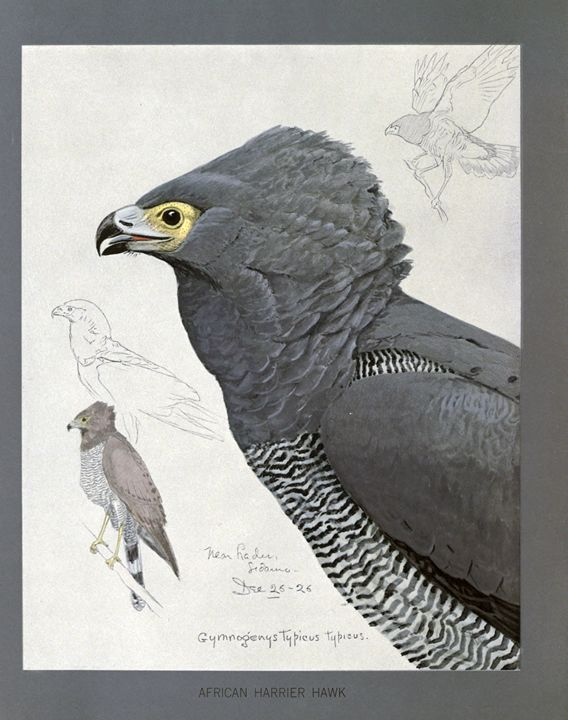 African Harrier Hawk - SPCHQ