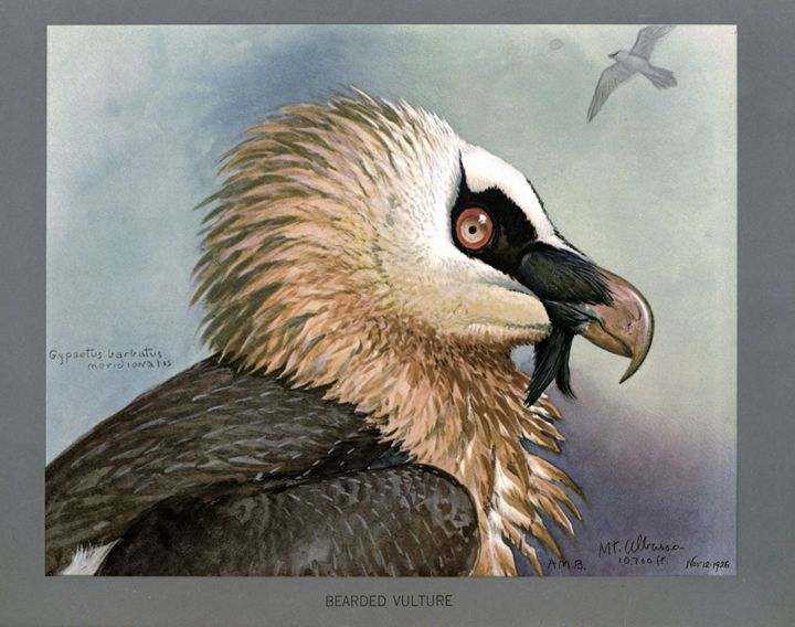 Bearded Vulture - SPCHQ