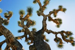 Joshua Tree Art Print 2