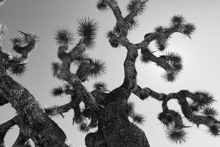 Joshua Tree Black And White - FIFIXREBI