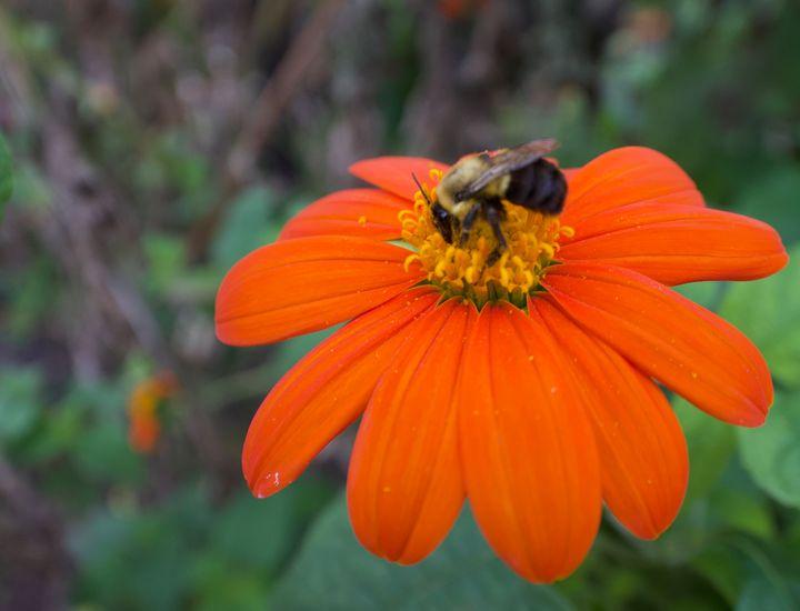 Bumblebee on orange - Rrrosepix