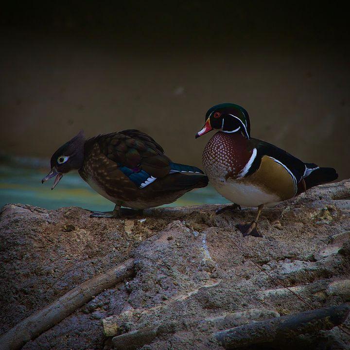 Wood ducks - Rrrosepix