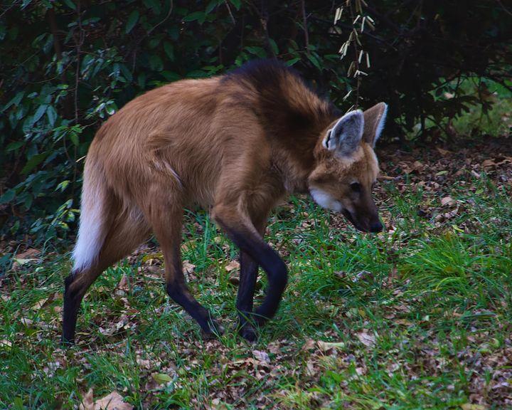 Red wolf - Rrrosepix