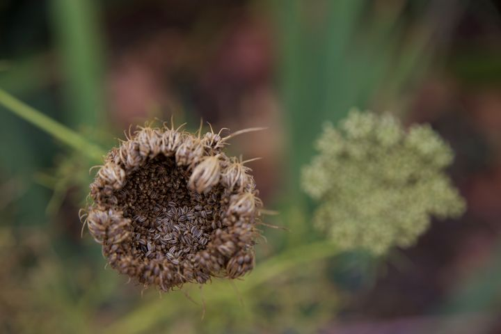 Seed and flower - Rrrosepix