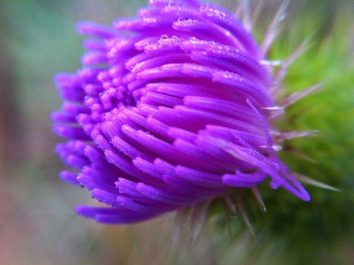 Dewy purple - Rrrosepix