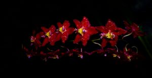 Red Star Orchids