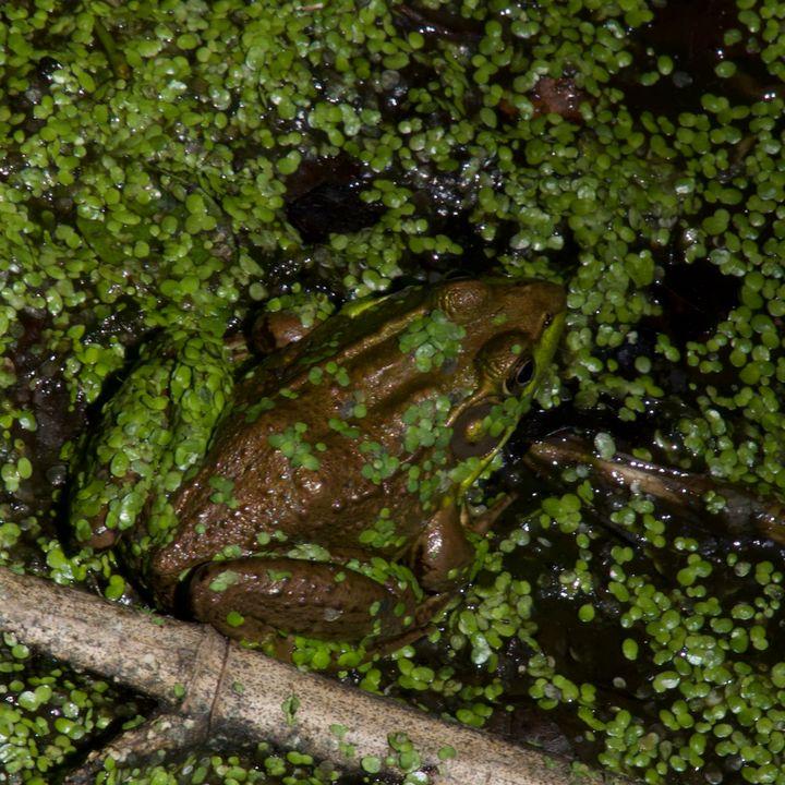 Frog in hiding 1 - Rrrosepix