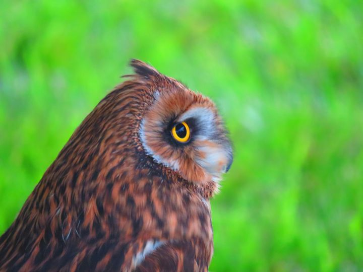 Portrait of an owl - Rrrosepix