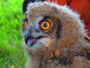 Surprised Owlet