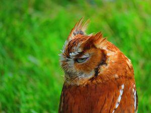Russet owl