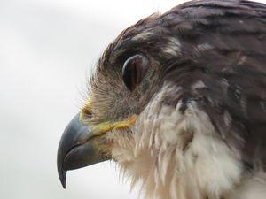 European Fish Hawk
