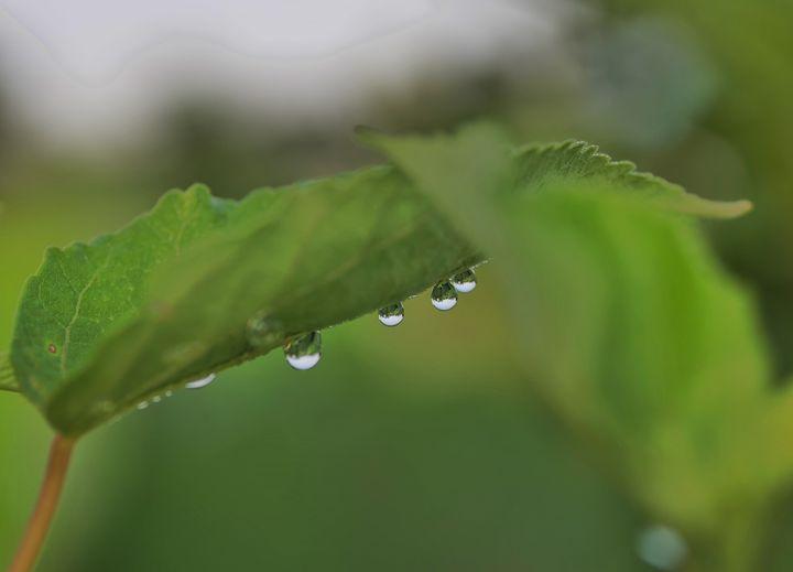 Dew drops - Rrrosepix