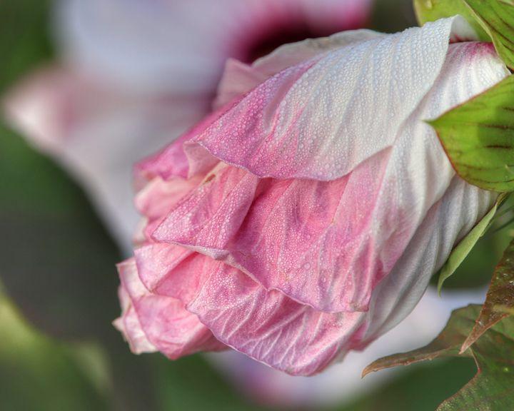 Dew on the bloom - Rrrosepix