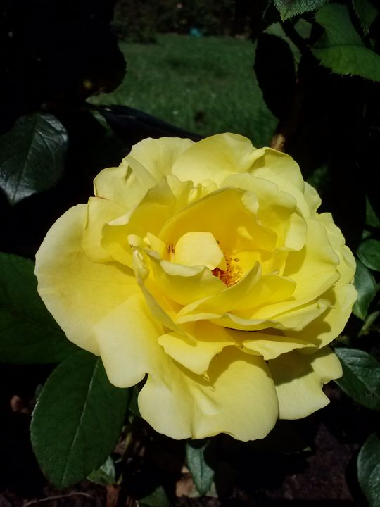 Yellow Rose - Janelle's Creations