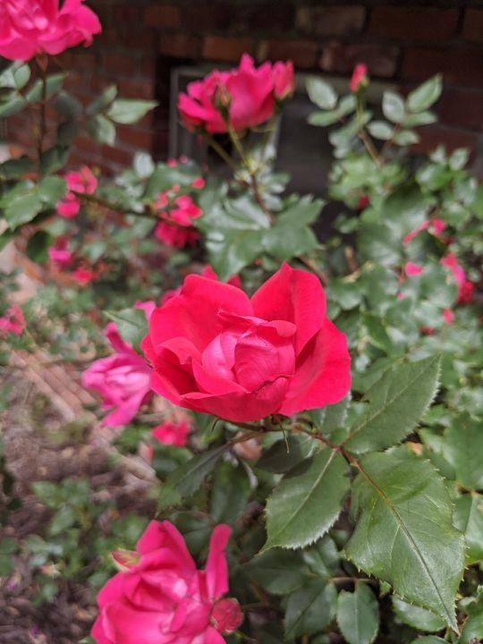 Summer Rose - Blakely Art