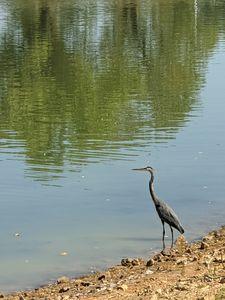 Solitary Crane