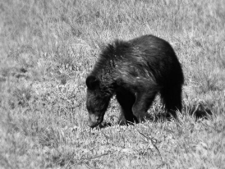 Bear Cub B&W - Lauri