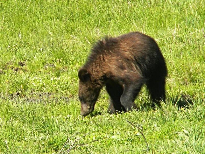 Bear Cub - Lauri