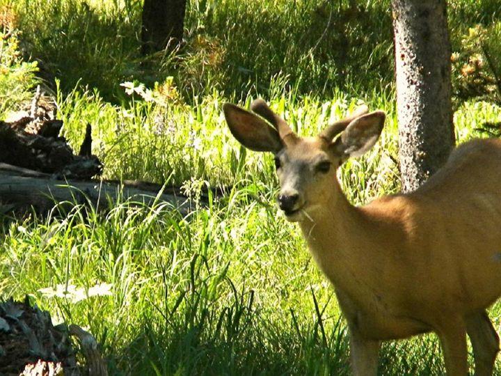 Deer - Lauri