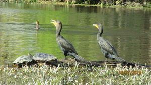 Cormorants & Turtles - G J Schulte