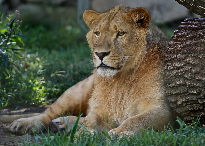 Female Lion I - Cantor Photography