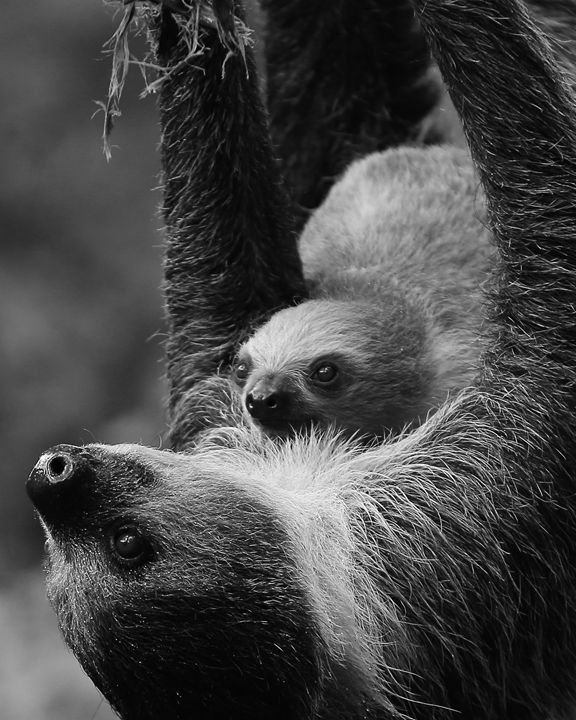 Sloth and Juvenile - Cantor Photography