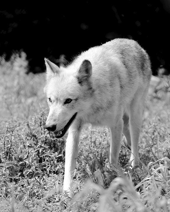 Gray Wolf II - Cantor Photography