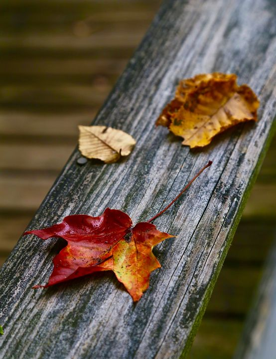 Fall Leaves - Cantor Photography