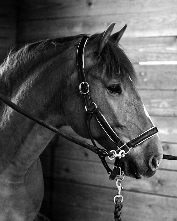 Equine Portrait - Lusitano - Cantor Photography