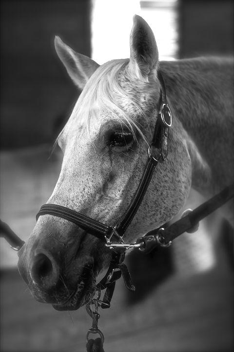"Horse Portrait - ""Orr Shaddad"" - Cantor Photography"