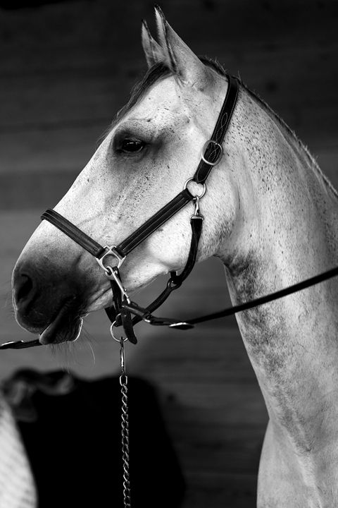 """Horse Portrait - """"Lucca"""" - Cantor Photography"""