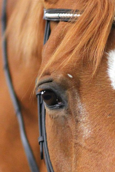 Chestnut Mare Closeup - Cantor Photography